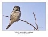 Northern Hawk-Owl-085
