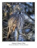 Great Gray Owl-199