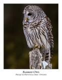Barred Owl-035