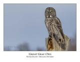 Great Gray Owl-201