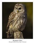 Barred Owl-036