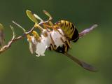 Leatherleaf with Wasp