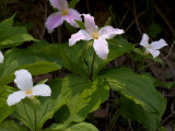 White Trillium with Four Petals and Four Leaves