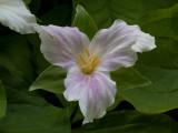 Fading White Trillium