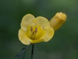 Yellow False Foxglove