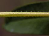 Arrow-leaved Tearthumb