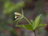 Large Whorled Pogonia Orchid