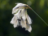 Thin-leaved Cotton Grass