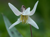 White Dogtooth Violet