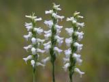 Nodding Ladies'-tresses Orchids