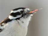 Downy Woodpecker Eating Peanut Butter