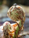 Goldies Fern Unfolding