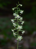 Pad-leaved Orchid