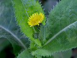 Spiny-leaved Sow Thistle