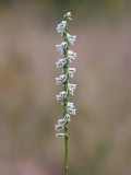 Southern Slender Ladies'-tresses Orchid