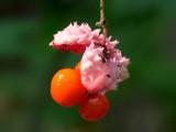Running Strawberry Bush