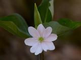 Sharp-Lobed Hepatica in Front of Trillium Bud