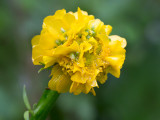 Common Buttercup with Gall