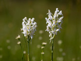 White-fringed Orchids