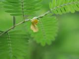 Wild Sensitive Plant