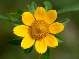 Nodding Bur Marigold