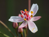 Flowering Rush