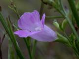 Small Flowered Gerardia