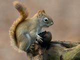 Red Squirrel with Black Walnut
