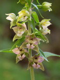 Helleborine Orchid