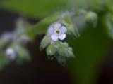 Virginia Stickseed