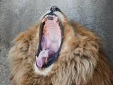 Lion Yawns