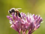 Honeybee on Joe Pye Weed