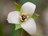 Red Trillium -- White Variant