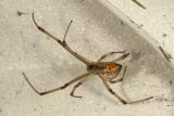 Brown Widow (Latrodectus geometricus)