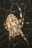 Spotted Orb Weavering Spider (Neoscona crucifera)