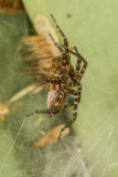 Funnel Weaver Spiders (Grass Spiders)