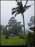 Fog and a palm tree - June winter morning in Minto