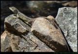 A Long tailed Lizard - Nobbi Dragon