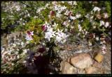 Goobang National Park - wildflowers