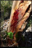 Red Gum (sap) at the base of the tree