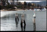 Pelican on Patrol at the Harbour