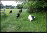 Lord Howe Island - goats!