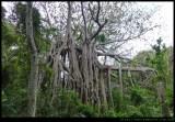 Lord Howe Island - banyan tree