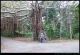 Lord Howe Island - banyan trees everywhere!