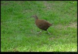 Lord Howe Island wood hen