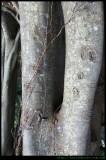 Banyan Tree close up