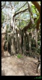 Banyan Tree  - amazing above ground root system