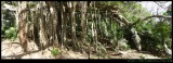 Banyan Tree  - amazing above ground root system panorams