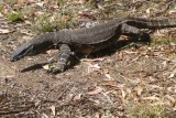 Goanna in our campsite