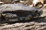 Goanna - Head shot